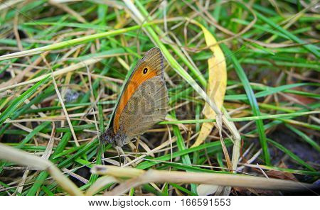 Butterfly Hyponephele lycaon,one species fauna forest-steppe zone