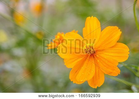 Yellow cosmos flower field background,  cosmos flower