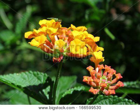 Lantana flower blossom garden hedge orange yellow