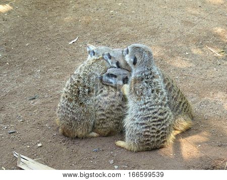 A huddle of meerkat animals at the zoo