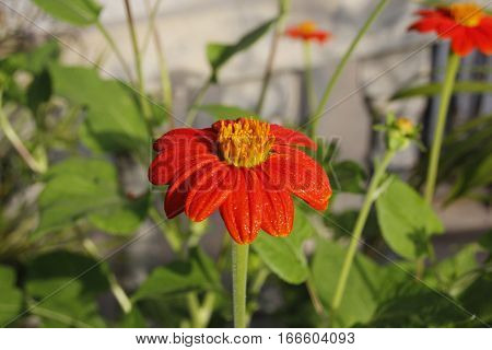 A fully bloomed red orange flower with golden stamens