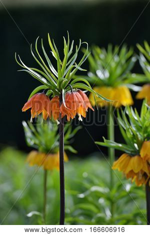 Tall Yellow Fritillaria Imperialis