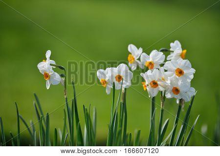 Narcissus Papyraceus, Paperwhite Flowers