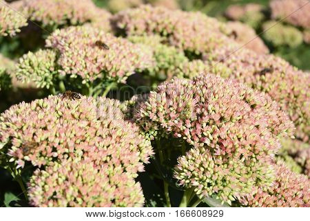 Sedum prominent (Sedum spectabile). Ornamental garden plants. Make your garden bee-friendly in autumn. Sedum (Stonecrop) in blossom
