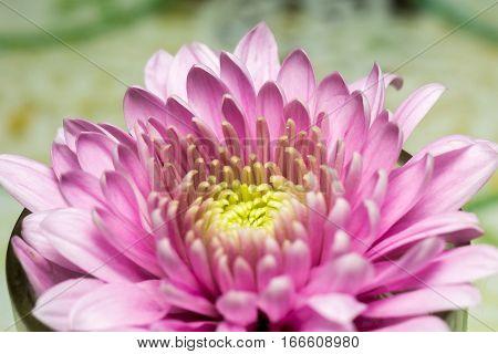 Pink Aster Flower Macro