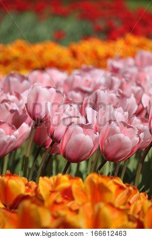 Tulips in Keukenhof flower garden in Netherlands