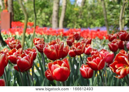 Red Tulips In Keukenhof Flower Garden. Netherlands