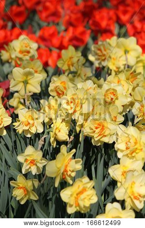 Yellow Daffodils And Red Tulips In Keukenhof Flower Garden. Netherlands