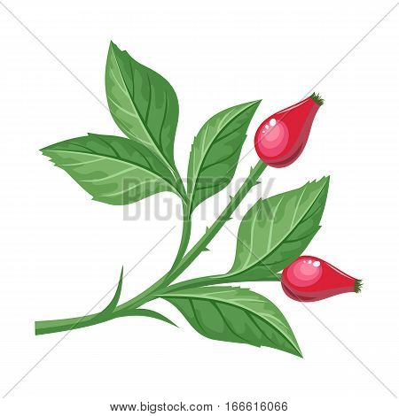 Sweetbrier vector illustration. Flat design. Brunch of dog-rose with leaves, spikes and berry. Plant illustration for autumn nature concept, gardening book, print design. Isolated on white background
