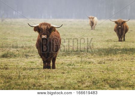 Highland cows in the farm. Anderen Netherlands - January 2017