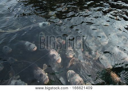 Giant Gourami In Pond With Reflection.