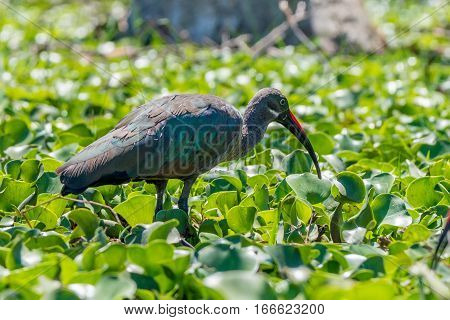 Hadada ibis or Bostrychia hagedash is wading in the swamp