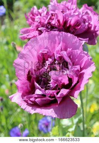 The beautiful double flowers of a giant purple poppy also known as Papaver somniferum or Opium Poppy. In an ornamental garden setting.