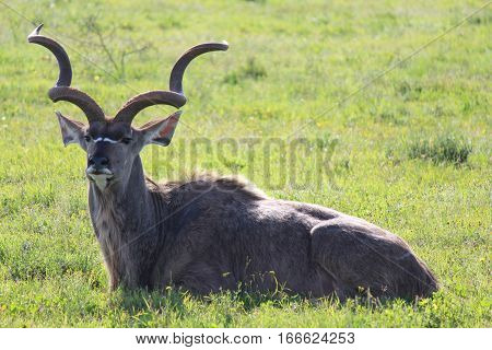 Kudu resting and eating - Addo Elephant National Park - South Africa