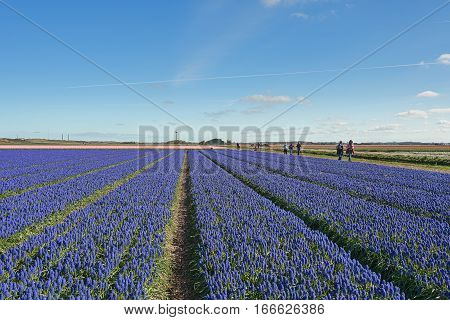 Zijpe Netherlands - May 1 2016: Blue Muscari field in the province of North Holland Netherlands.