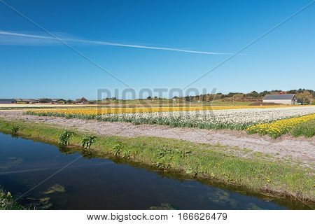 Colored field of flower bulbs in the province of North Holland Netherlands.