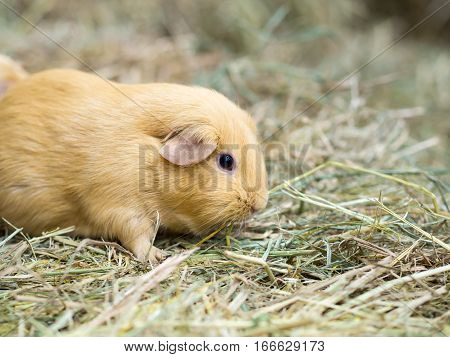 Guinea pig find food on grass. space for text