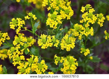 Buttercress (barbarea Vulgaris)