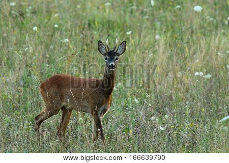 young roebuck walking towards the photographer on summer meadow ( Capreolus )
