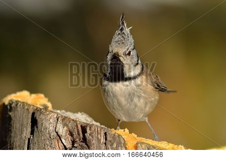 funny crested tit perched on wooden stump ( Lophophanes cristatus )