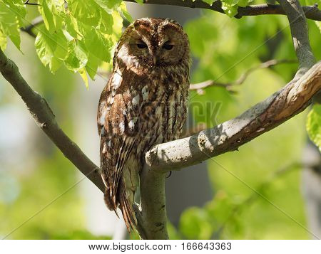 Tawny Owl surrounded by light green leaves