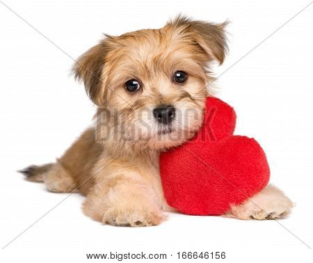 Lover Valentine Havanese puppy dog lying with a red heart isolated on white background