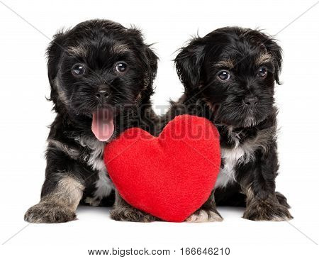 Two cute Valentine Havanese puppies sitting together with a red heart isolated on white background