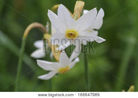 Fowers are white daffodil with dew closeup. Nature