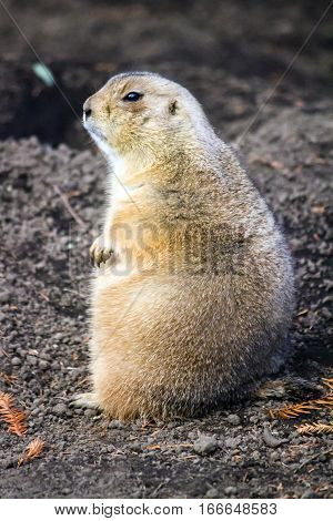 A prairie dog standing and looking far