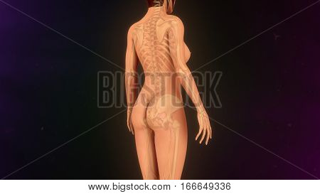 Skeleton system consists of a framework of bones and a few cartilages. This system has a significant role in movement shown by the body.