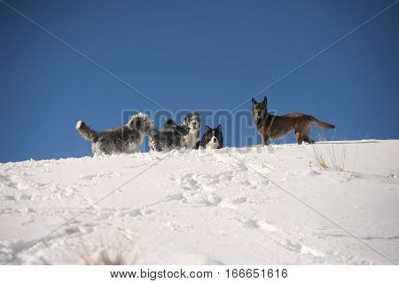 Dog pack playing on the mountain ridge: bearded collie, border collie, belgian sheepdog, pumi. Five dogs running on white snow on a beautiful sunny winter day with nice blue sky. They are doing footpath with their paws.