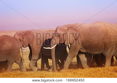 Big group of African elephants walking to watering place in  Maasai Mara National Reserve