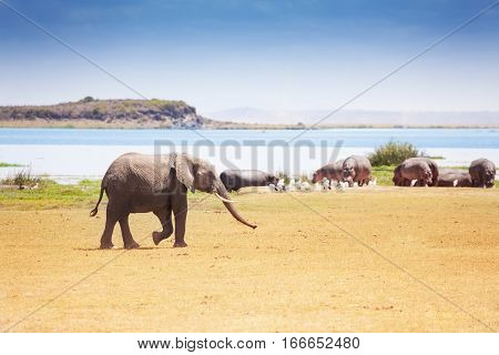 Huge male African elephant walking near the  watering place with hippos, Kenya