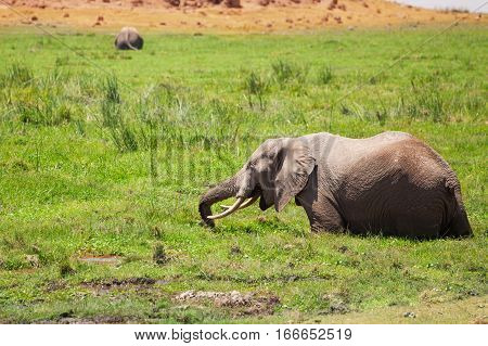 African elephant standing in fen and eating lush grass, Maasai Mara National Reserve, Kenya
