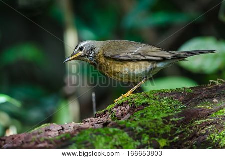 Eyebrowed Thrush Bird (turdus Obscures)