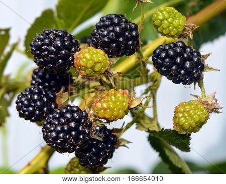 Ripe berries of black raspberries on a branch.