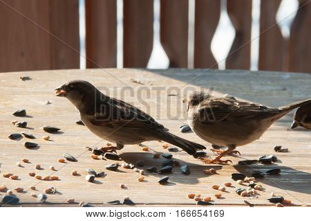 sparrows peck grains and seeds on a wooden table