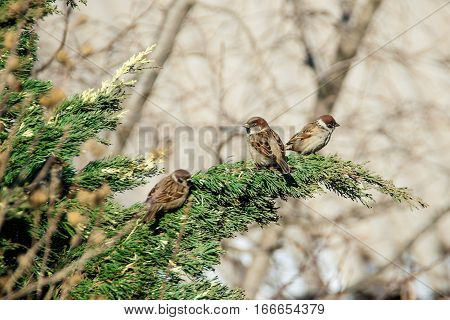 many gray sparrows sitting on the juniper closeup day