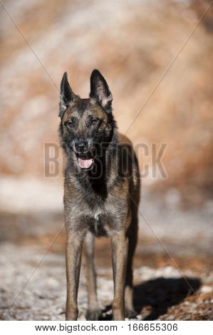 Belgian Sheepdog, Malinois standing and guarding his owner on a sunny autumn walk. He is relaxed, but his ears are up listening what is around him.