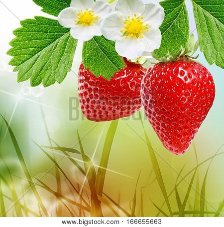 Cultivation of large-fruited strawberry all year round