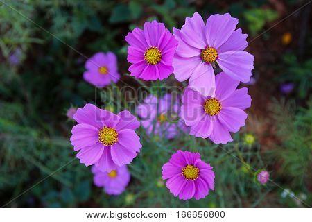 Pink Cosmos flowers in the garden, (Cosmos Bipinnatus)