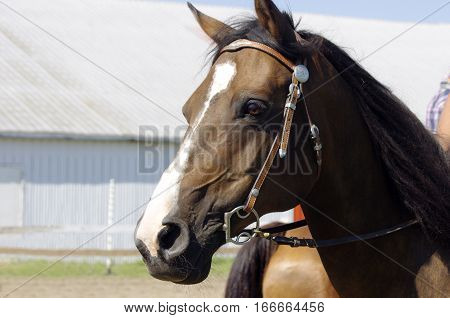Brown horses' head with bridle in front of barn