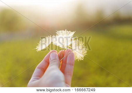 Man's hand with feather seeds of dandelion. Symbol of fragility and lightness.