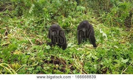 Front view of two young mountain gorillas playing in the forest