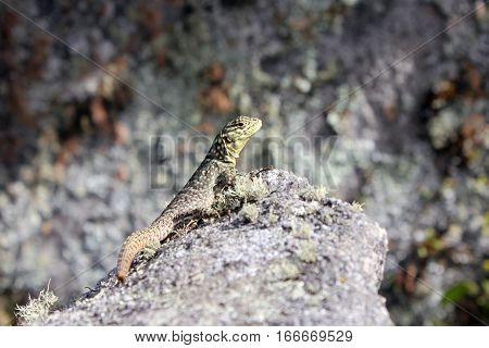 Close up from a Lizard warming up in the sun at a rock