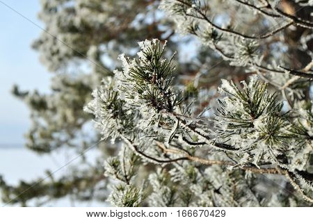 Winter background with green christmas pine tree branch in snow and ice