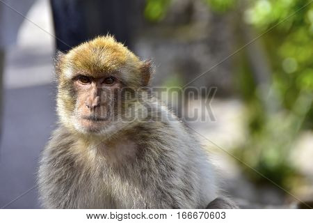 Portrait of a Barbary Ape at Gibraltar.