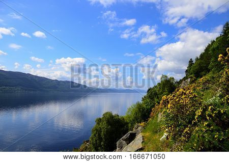Yellow Gorse blooming on the shores of Loch Ness in Scotland.