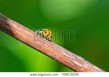 Close up of yellow Ladybird beetle or Ladybug on a branch with a green brackground sunlight projecting long shadows of the insect