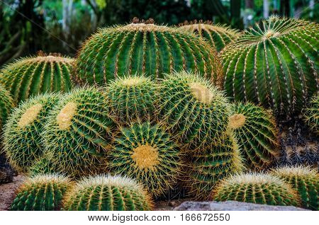 prickly cactus. Cactus thorns. family of green cactus